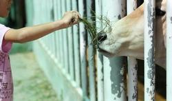 Opgroeien op een veeboerderij biedt bescherming tegen astma en allergieën