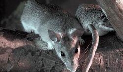 Leptospirose of rattenziekte - Ziekte van Weil - Melkerskoorts