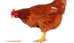 Mens en kip delen genen voor antibioticaresistentie