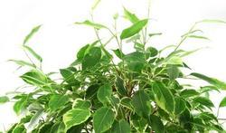 De ficus: een kamerplant tegen verontreiniging