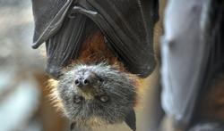 123-vleermuis-rabies-dieren-11-17.jpg