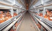 123-vogelgriep-dieren-kippen--ren-170_08.jpg
