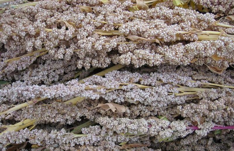 zaadjes-quinoa.JPG