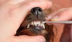 Le tartre, la menace pour les dents du chien