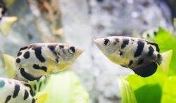 Etonnant : ce poisson reconnaît les visages humains