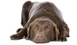 Les dangers du chocolat pour les chiens
