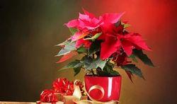 Etoile de Noël : belle et dangereuse