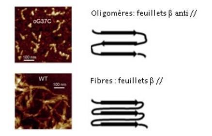 AlzheimerOligomères1.jpg