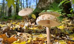 Giftige paddenstoelen: nuttige tips