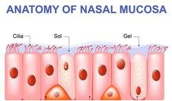 123-anatom-nasal-mucosa-cila-trilhaar-03-19.png
