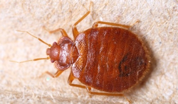 123-bedwants-Cimex-lectularius-05-15.png