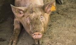123-dier-varken-vuil-vlees-03-19.jpg