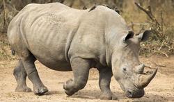 123-dieren-rhino-afrodis-02-19.jpg
