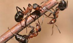 Hoe bestrijdt u veilig mieren?