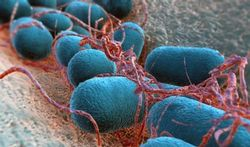 Darmbacteriën beïnvloeden vetten in bloed