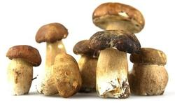 123-eekhoorntjesbr-porcini-paddenst-10-15.jpg