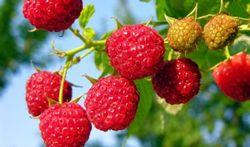 Pas op met zelfgeplukt fruit in Nederlands-Limburg en Ardennen