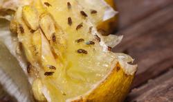 Fruitvliegen: wat kunt u ertegen doen?