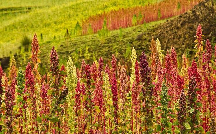 123-h-quinoa-teelt-Amerika-09.19.jpg