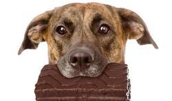 123-hond-chocol-dieren)12-16.jpg