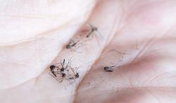 Wetenschappers voorspellen verspreiding tropische muggen