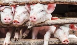Longaandoeningen bij varkenshouders