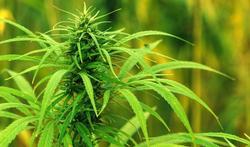 Voedingsmiddelen of voedingssupplementen op basis van cannabis of hennep verboden in België