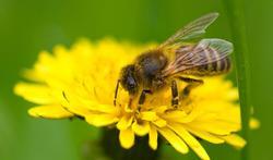 Gif van honingbijen maakt komaf met kwaadaardige kankercellen