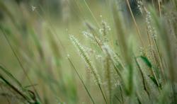 Het stuifmeelseizoen van grassen is bezig