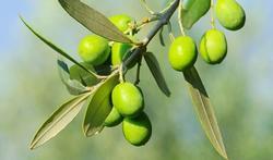 Product in de kijker: de olijf