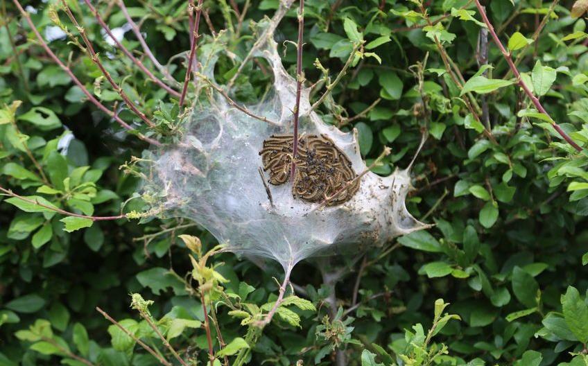 eikenprocessierups-brandharen-nest-05-18.jpg