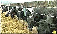 koeien-rij.jpg