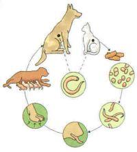 levenscyclus-Echinococcus-multilocularis.jpg