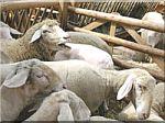 schapen-kudde-3.jpg