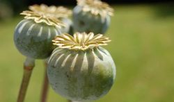 Comment l'opium tue
