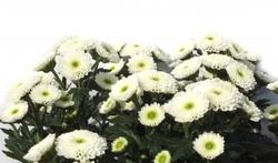 Toussaint : comment présenter les chrysanthèmes ?