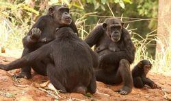 Crise de la quarantaine : les singes y passent aussi