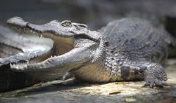 Va-t-on nous soigner avec du sang de crocodile ?