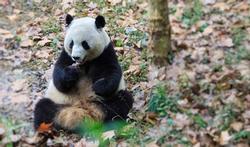 Le secret du panda : la paresse