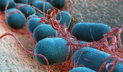 Les bactéries stressées sont redoutables