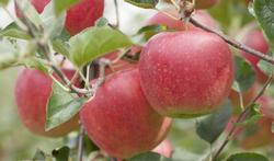 Alles over de appel