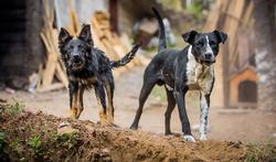 Welke dieren kunnen hondsdolheid overbrengen?