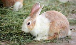 Pourquoi le lapin mange-t-il ses crottes ?