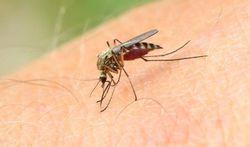 Pourquoi les moustiques sont si sensibles à notre odeur