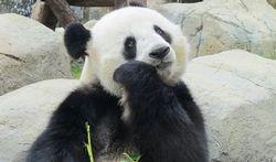 Un super antibiotique chez le panda géant