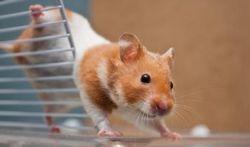 Ce qu'il faut préparer pour accueillir un hamster