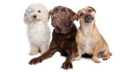 La domestication du chien lui a donné des couleurs
