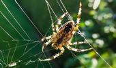 L'araignée sait-elle compter ?