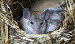 La souris africaine nous aidera-t-elle à mieux cicatriser ?