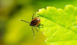 Les tiques et la maladie de Lyme